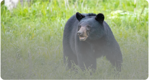 bear_sightings_in_the_smokies_tennessee